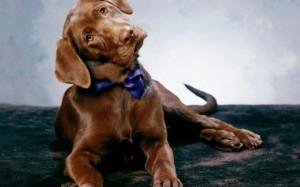 Почему собакам нельзя есть шоколад
