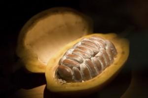Какао - дерево, дающее шоколад-2