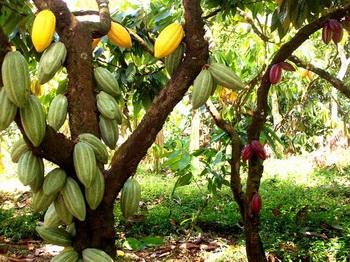 Какао - дерево, дающее шоколад-3