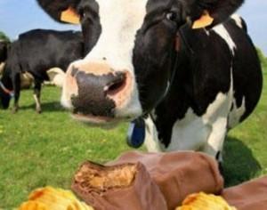 Коров будут кормить шоколадом