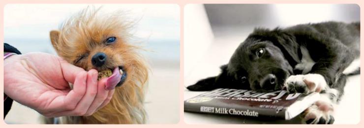 Отравление собаки шоколадом