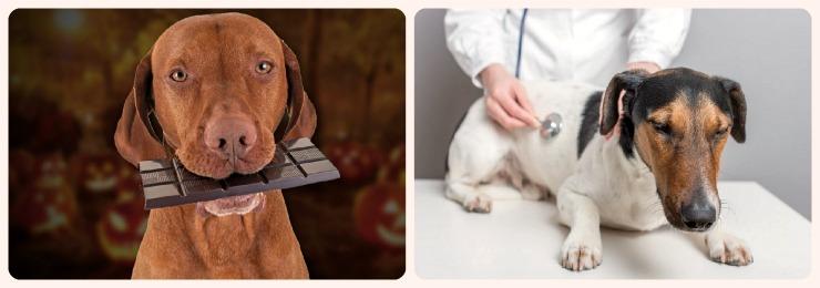 Какая доза шоколада опасна для собак